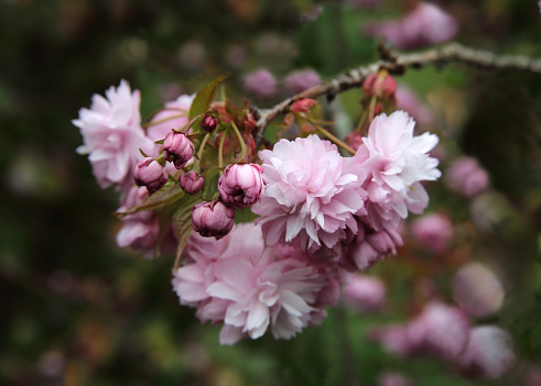 Cherry Blossoms「Cherry blossom on tree in English domestic garden.」:スマホ壁紙(0)