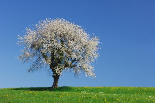 Cherry Tree「Cherry blossom tree in bloom」:スマホ壁紙(6)