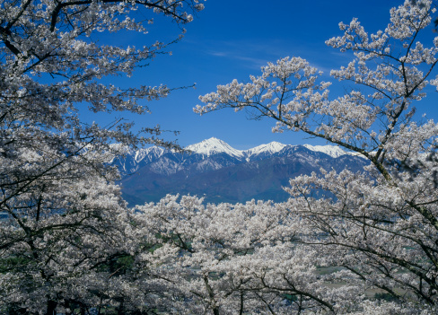 桜「Cherry Blossoms and Mount Jonendake, Azumino, Nagano, Japan」:スマホ壁紙(11)