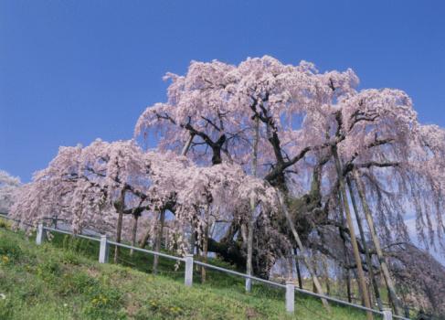 桜「Cherry Blossoms」:スマホ壁紙(19)