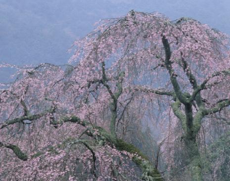 春「Cherry Blossoms」:スマホ壁紙(16)