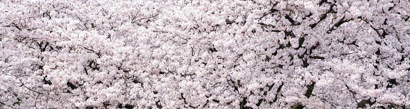 花見「桜の花 」:スマホ壁紙(8)