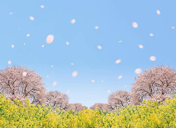 Cherry blossoms and oilseed rape, digital composite:スマホ壁紙(壁紙.com)
