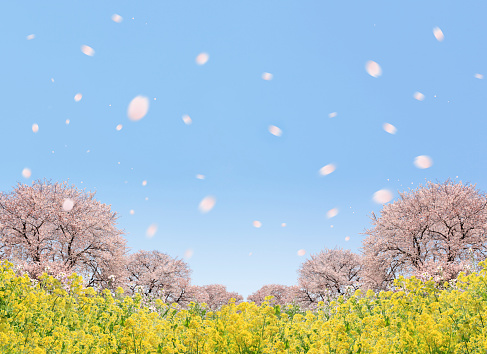 Cherry Blossom「Cherry blossoms and oilseed rape, digital composite」:スマホ壁紙(1)