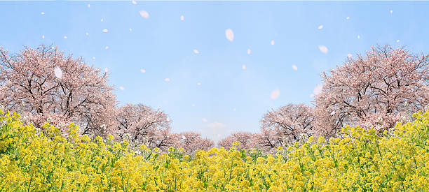 Cherry blossoms and oilseed rape, digital composite:スマホ壁紙(壁紙.com)