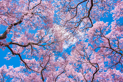 Cherry Blossoms「Cherry Blossom and Blue Sky」:スマホ壁紙(1)