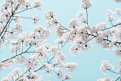桜「Cherry Blossom and Blue Sky, Yeouido Park, Seoul, South Korea」:スマホ壁紙(19)