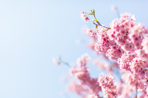 Cherry Blossom「Cherry blossoms」:スマホ壁紙(8)