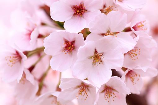 桜「Cherry blossoms」:スマホ壁紙(0)