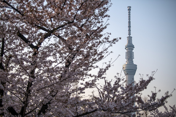 Cherry Blossoms「Views From The Skytree」:写真・画像(14)[壁紙.com]