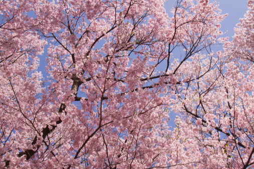 桜「Cherry blossoms(Cerasus subhirtella), Japan」:スマホ壁紙(11)