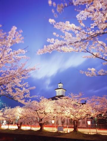 夜桜「Cherry blossoms in Tsuruoka Park」:スマホ壁紙(3)