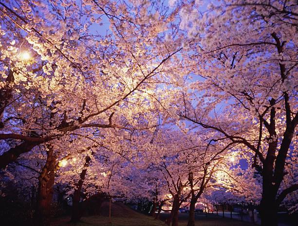 Cherry blossoms in Tsuruoka Park at night:スマホ壁紙(壁紙.com)