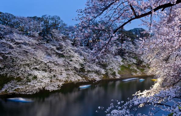 夜桜「Cherry Blossom In Full Bloom In Tokyo」:写真・画像(5)[壁紙.com]