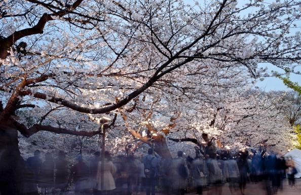 夜桜「Cherry Blossom In Full Bloom In Tokyo」:写真・画像(6)[壁紙.com]