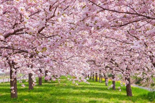 桜「Cherry blossoms, Nagano Prefecture, Honshu, Japan」:スマホ壁紙(5)