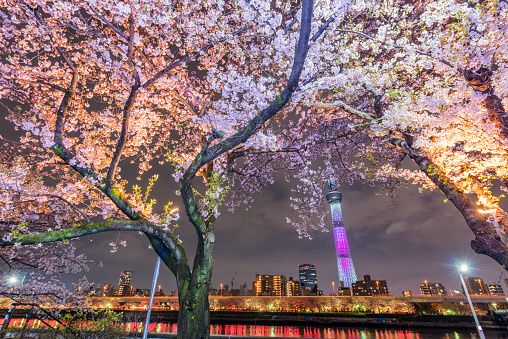 サクラの木「Cherry Blossoms and Tokyo Sky Tree Light up」:スマホ壁紙(2)