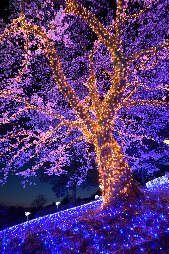 夜桜「Cherry Blossoms, Light Up, at Night」:スマホ壁紙(1)