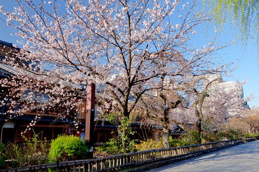 桜「Cherry Blossom Trees」:スマホ壁紙(18)