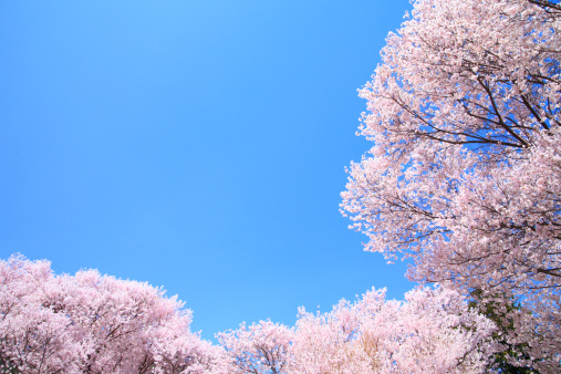桜「Cherry Blossom Trees」:スマホ壁紙(11)