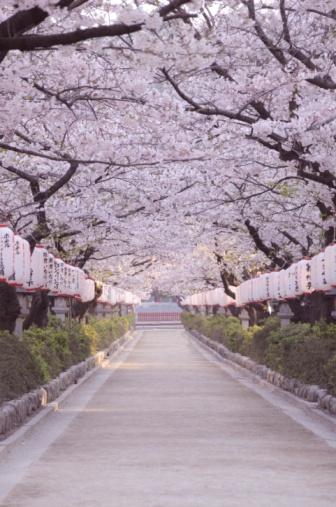 かまくら「Cherry Blossom Trees」:スマホ壁紙(5)