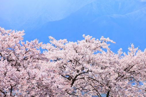 桜「Cherry Blossom Trees」:スマホ壁紙(8)
