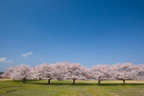 Ibaraki Prefecture「Cherry Blossom Trees」:スマホ壁紙(18)