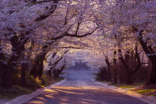 Cherry blossom neighborhood:スマホ壁紙(壁紙.com)