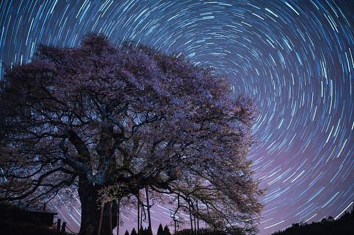 夜桜「桜の花ツリー夜に」:スマホ壁紙(10)