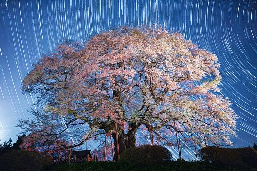 夜桜「桜の花ツリー夜に」:スマホ壁紙(19)