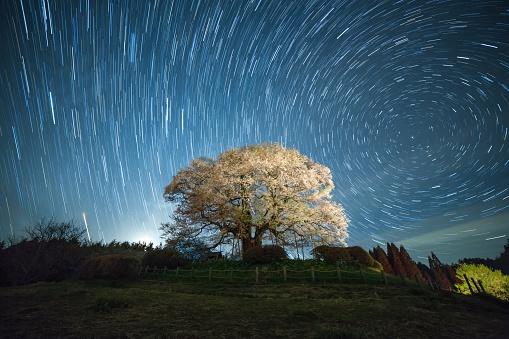 Cherry trees at evening「Cherry blossom tree at night underneath the north star」:スマホ壁紙(13)