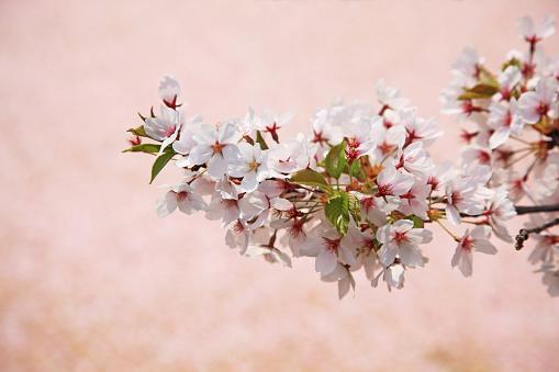 桜「Cherry Blossoms, Hirosaki, Japan」:スマホ壁紙(1)