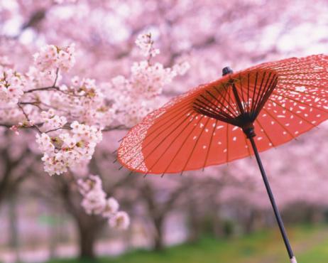 Deciduous tree「Cherry Blossom」:スマホ壁紙(9)