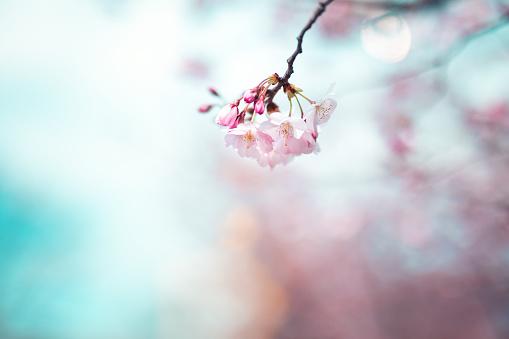 Floral「Cherry Blossom」:スマホ壁紙(11)