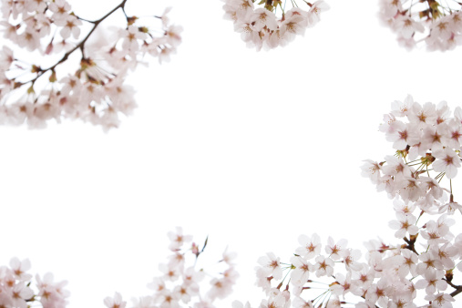 Clipping Path「Cherry Blossoms on White」:スマホ壁紙(5)