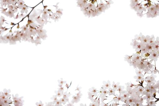 Cherry Tree「Cherry Blossoms on White」:スマホ壁紙(10)