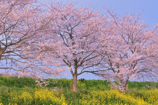 桜「Cherry Blossom Trees Over Oilseed Rape」:スマホ壁紙(13)