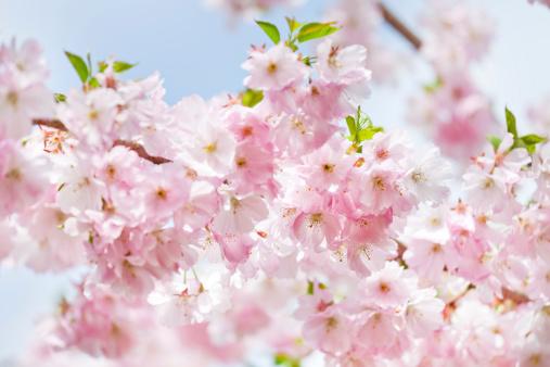 花見「桜の花」:スマホ壁紙(6)