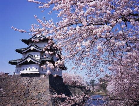桜「Cherry blossoms at Hirosaki Castle」:スマホ壁紙(4)