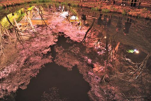 夜桜「Cherry Blossoms Reflected in Water at Night」:スマホ壁紙(15)