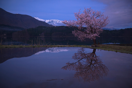 夜桜「Cherry Blossoms Reflected in Lake Aoki, Nagano, Japan」:スマホ壁紙(16)