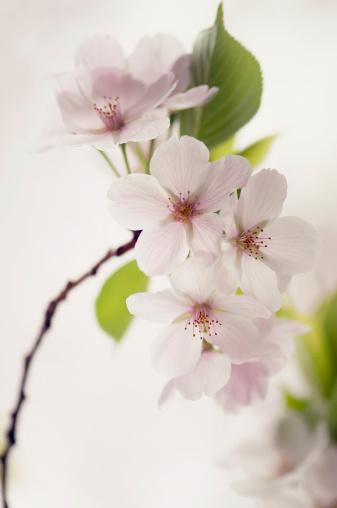 ソメイヨシノ「Cherry Blossom」:スマホ壁紙(15)