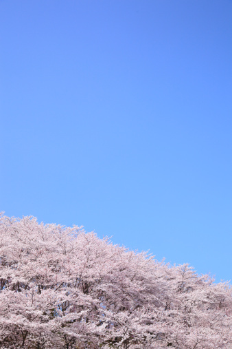 桜「Cherry Blossom Trees Against Blue Sky」:スマホ壁紙(10)