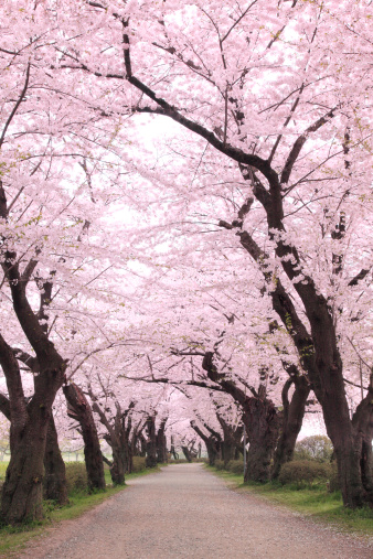春「Cherry blossoms, Iwate Prefecture, Japan」:スマホ壁紙(10)
