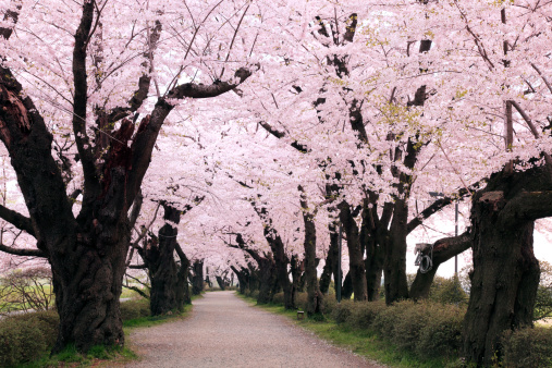Cherry Blossoms「Cherry blossoms, Iwate Prefecture, Japan」:スマホ壁紙(4)