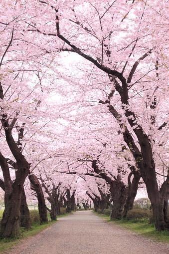 桜「Cherry blossoms, Iwate Prefecture, Japan」:スマホ壁紙(14)