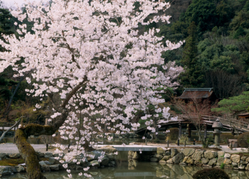 Chan Buddhism「Cherry Blossoms at Eihoji Temple, Tajimi, Gifu, Japan」:スマホ壁紙(13)