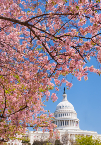 Cherry Blossoms「Cherry blossoms in front of Capitol building in Washington D.C.」:スマホ壁紙(9)