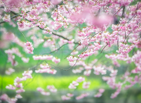 Cherry Blossom「Cherry blossoms in front of flowerbeds and lawn」:スマホ壁紙(15)