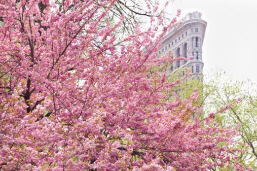 桜「Cherry blossoms in front of a flat iron building」:スマホ壁紙(14)